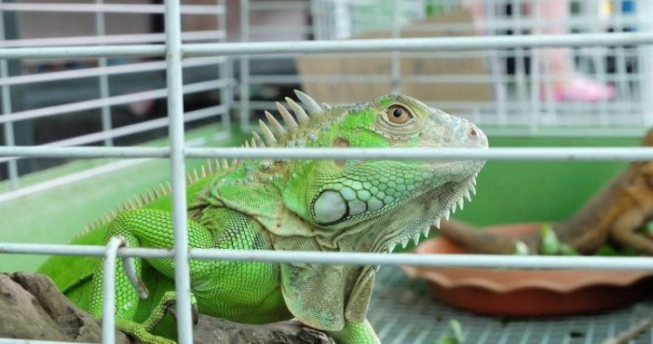Iguana Behavior as well as Temperament